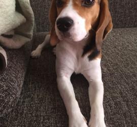 eszenyi beagle